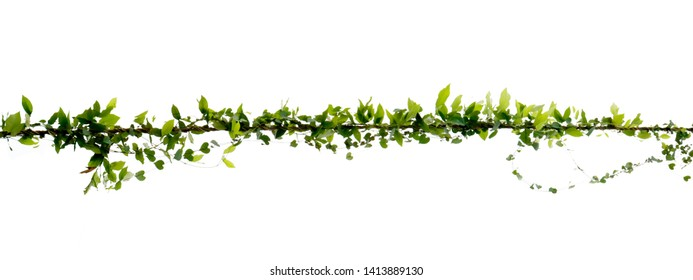Natural ivy vine that twists along the electric wire on a separate white background.