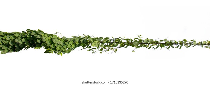 Natural ivy vine that twists along the electric wire on a separate white background with the clipping path.