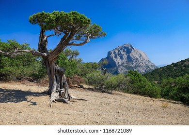 Natural juniper tree on a background of clear blue sky and mountain, beautiful landscape