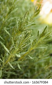 Natural kitchen herb, rosemary plant. Close-up in the garden/Close up of rosemary herb