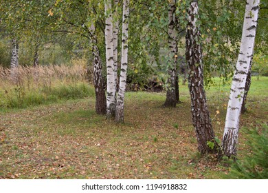 Natural landscape - Birches in the fall