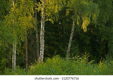 Natural landscape - Birches in a sunlight at sunset