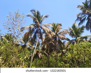 natural landscape with cocunut tree