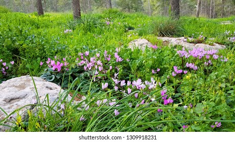 Natural landscape field of blooming purple cyclamen in the forest