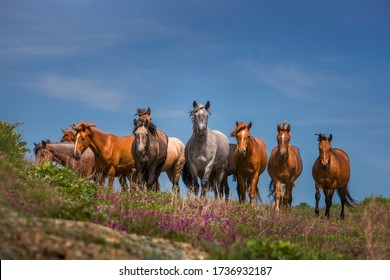 Natural landscape. Free-range herd of bay horses. Horses stand and look directly at the camera. Low point shooting. Purple flowers in the foreground. Summer day. Blue sky. Altai. Siberia