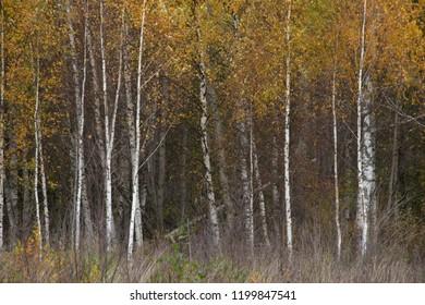 Natural landscape - Russian wood