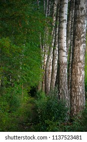 Natural landscape  in sunny day - birches