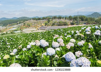 Natural Landscape view of purple Hydrangea flower (Hydrangea macrophylla) in a garden with mountain and blue sky at Dalat, Vietnam. Hydrangea is a genus of flowering plants native to Asia and Americas