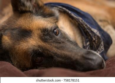 Natural light portrait of senior German Shepherd dog looking at camera