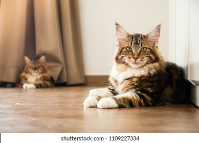 Natural lighting and shadow of blur Maine coon cat sunbathing on wooden floor in bedroom background with copy space. adorable cat background. lovely pet in family concept.