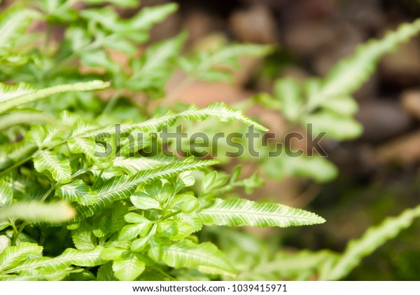 Natural lighting and shadow of blur spring fern leaf on bokeh of daylight. nature pattern background with copy space. spring background. spring plant concept./ selective focus.