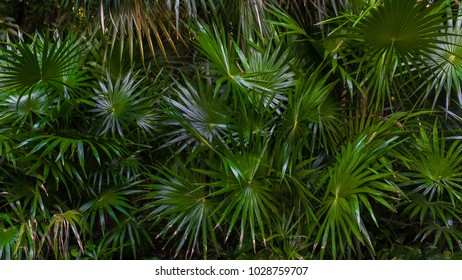 Natural lush green palm trees and leaves in tropical forest as wallpaper or background.