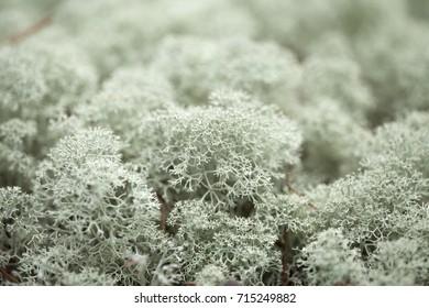 natural macro background of Cladonia, reindeer lichen