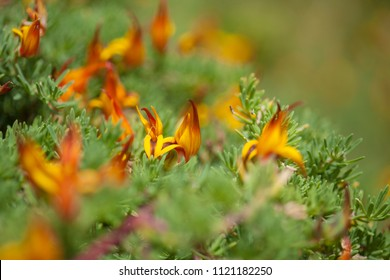 natural macro floral background of  flowering Lotus maculatus