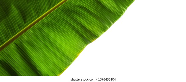 Natural macro photo with tropical green leaf fragment isolated over white background. Wide composition with copy space area