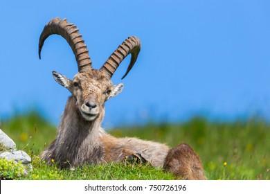 natural male alpine capra ibex capricorn blue sky sitting green meadow