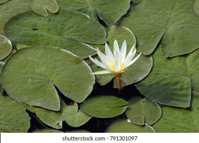in a natural marsh of Guadeloupe, in the middle of the graphic leaves, a flower of water lily white hatched