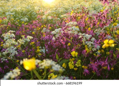 Natural meadow full of colorful wild flowers. Latvia. Dreamlike midsummer.