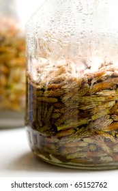 Natural medicine for chill made of pine sprouts