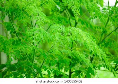 Natural Moringa leaves Green Background