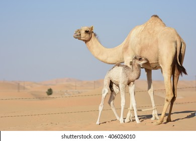 natural mother love young camel