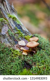 Natural mushroom in the autumn forest