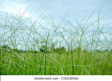 Natural nature meadow grass slowly sways by wind blow. The beautiful green swaying grass field waving along with wind breeze Slow motion
