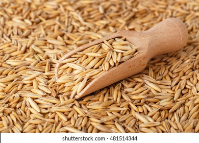 natural oat grains with husk in scoop for background, closeup shot