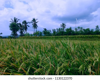 Natural Paddy Grain Scenery In The Rice Field At Banjar Kuwum, Ringdikit Village, North Bali