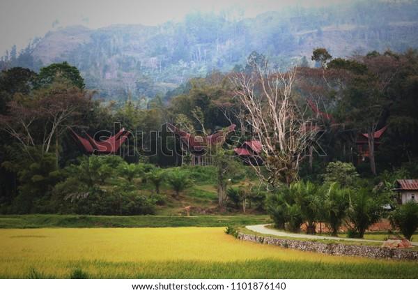 Natural panorama with yellow rice paddies and traditional home of Tongkonan in Tana Toraja, Indonesia