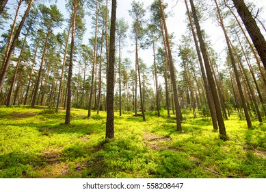 natural pine forest at sunny day, pure nature concept