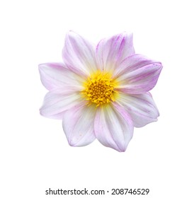Natural pink dahlia flower isolated on white background.