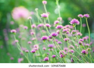 Natural pink flower at garden green background