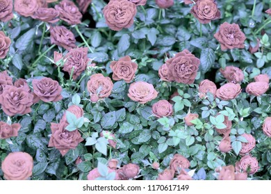 Natural pink roses. Romantic flowers. Beautiful seasonal floral pattern for vintage background for different topics