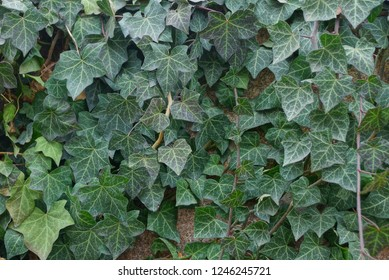 natural plant texture of green bindweed leaves on the wall