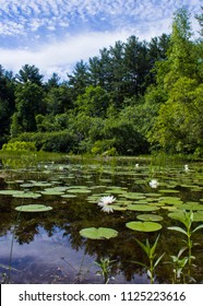 Natural Pond with Lilies and Lily Pads in the Middle of a Forest with a Partly Clouded Blue Sky