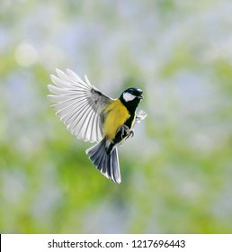 natural portrait little beautiful bird tit flies in a sunny spring garden shaking its wings and feathers wide