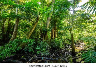 Natural pterocarpus forest swamp in Puerto Rico Del Mar