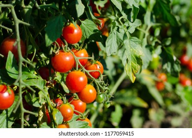 Natural red cherry tomatoes on a branch in the garden.