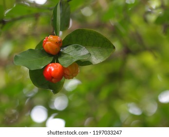 natural red and orange fresh pretty organic home plant cherry on it's tree under natural sunlight with outdoor green bokeh background