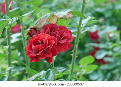 Natural red rose bush with soft focus background