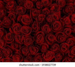 Natural red roses background. Color of the holiday. Gift to a woman. Deep red color.