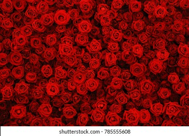 Natural red roses background, flowers wall.