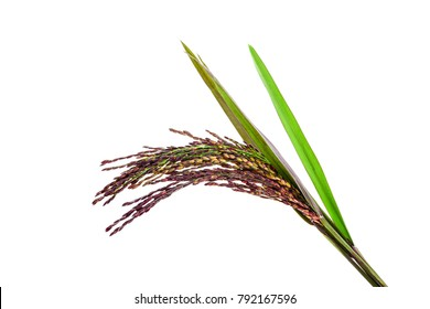Natural Rice berry isolated on white background Made from organic, non-toxic organic to health.