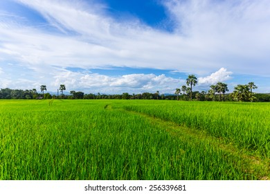 Natural rice field, Thailand