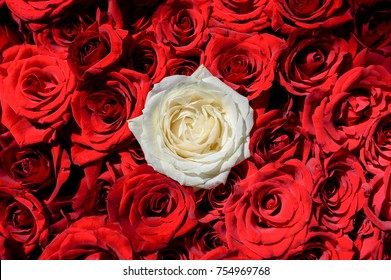 Natural rose flowers background, free space. Oone white rose among red roses. Individuality, outstanding, uniqueness, independence, think different,  leadership concept. Out from the crowd