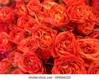 Natural roses background
