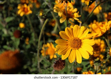 A natural scene of a beautiful blooming, yellow sunflower in the middle of a field full of other sunflowers. The dark green leaves in the background are in stark contrast with the bright, sunny petals