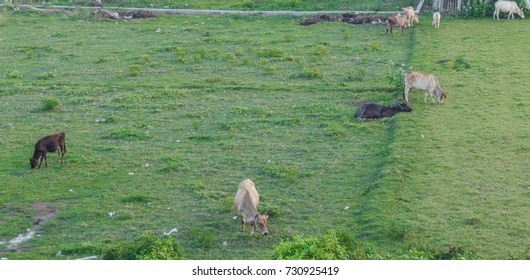 A natural scene where group of cows seen grazing in the green farm field in outer parts of Chennai city