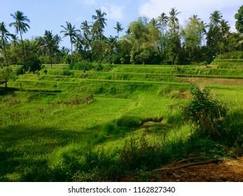 Natural Scenery Of Rice Fields At Ringdikit Village, Buleleng, North Bali, Indonesia